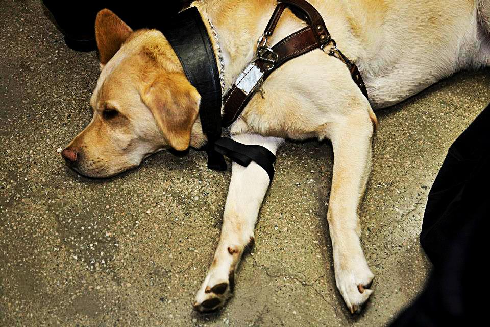 moda inclusiva cão guia