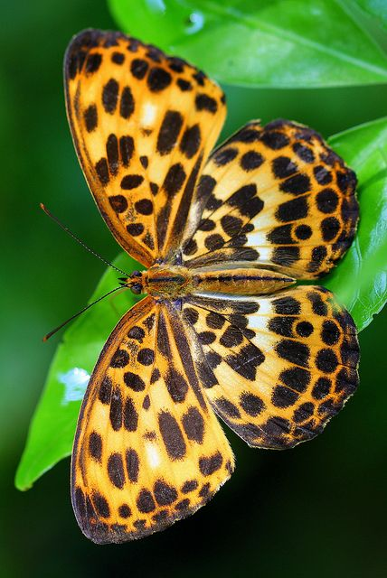 borboleta oncinha