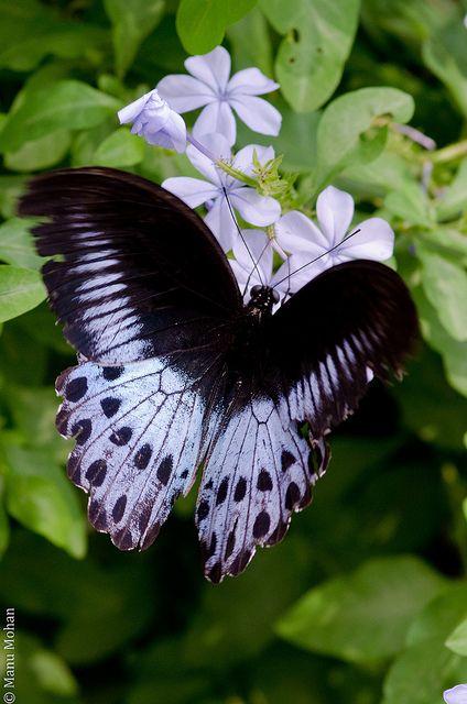 borboleta preta