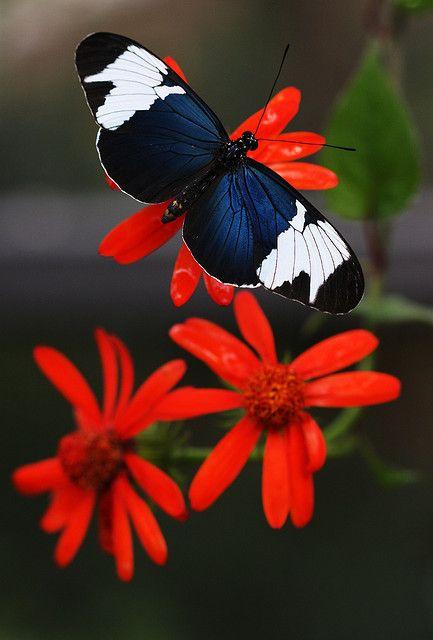 borboleta preto e branco