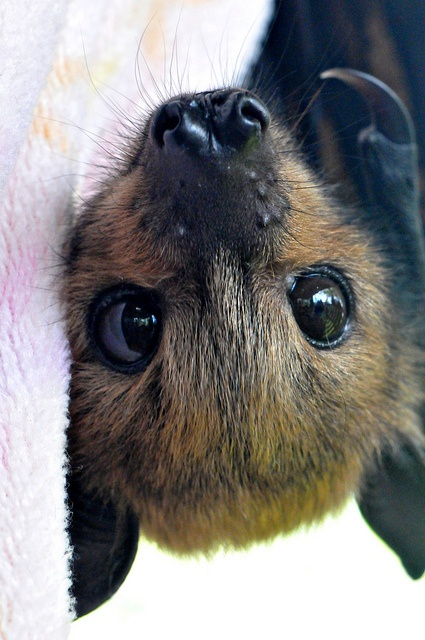 morcego olhos