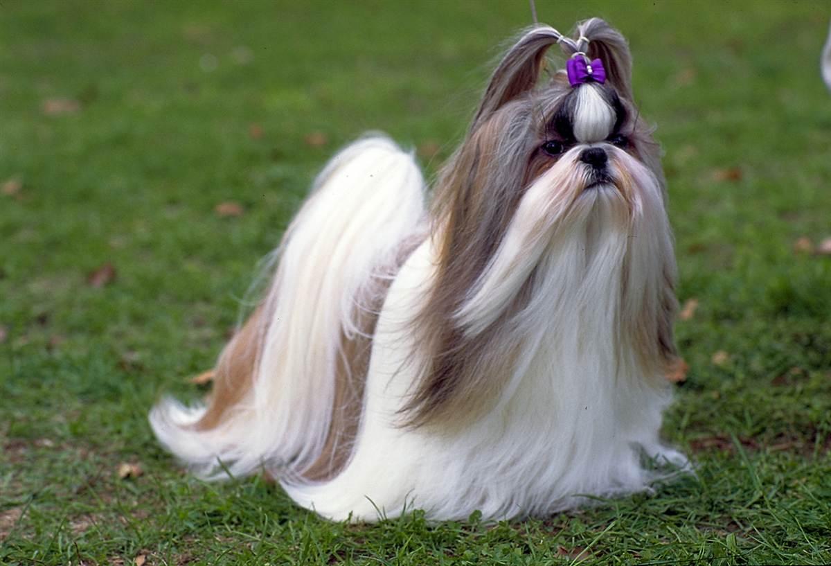 a cachorro shi tzu